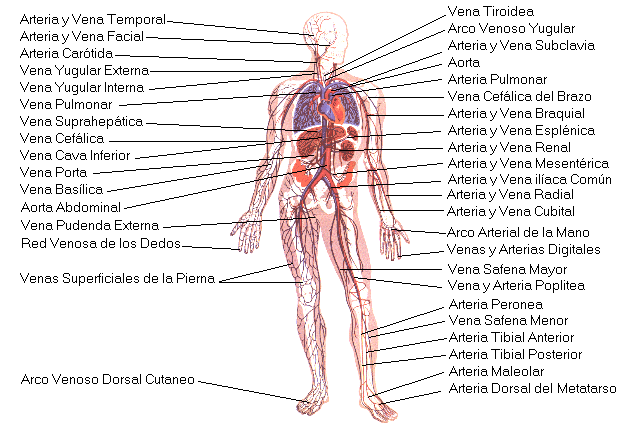 'Aparato circulatorio y Aparato respiratorio'