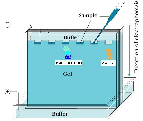 'Extración del {ADN} genómico y electroferesis en gel'