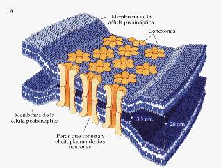 Proceso de mielinización. Sinapsis química y eléctrica