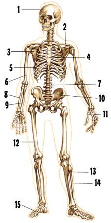 'Sistema �seo y muscular'
