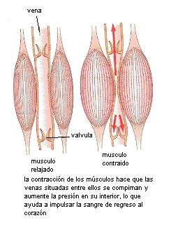 'Aparato circulatorio'