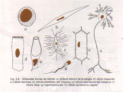 Organización unicelular