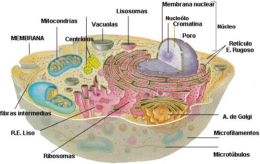 'Morfología Celular'