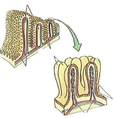 'Sistema digestivo'