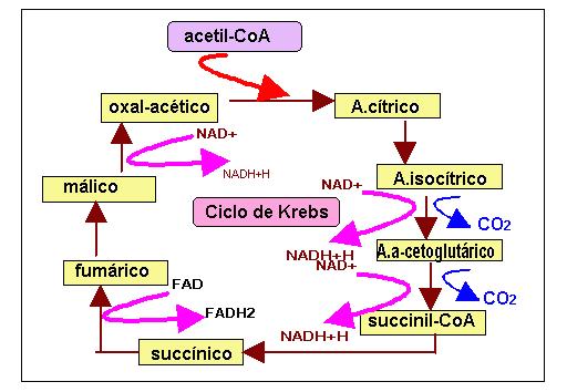 Mitocondrias y cloropastos