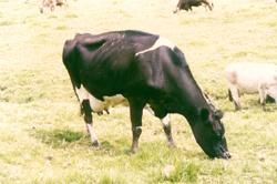 'Industria láctea panameña y globalización'