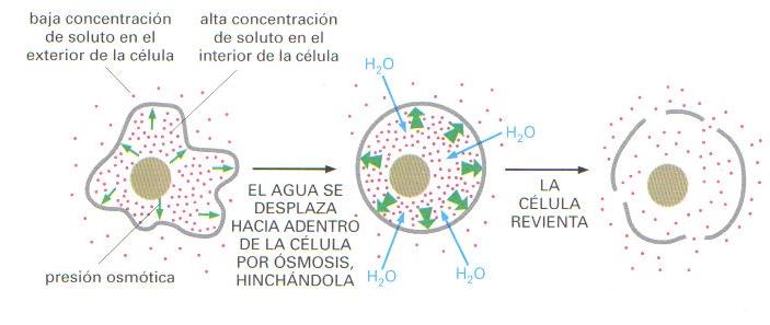 'La célula'