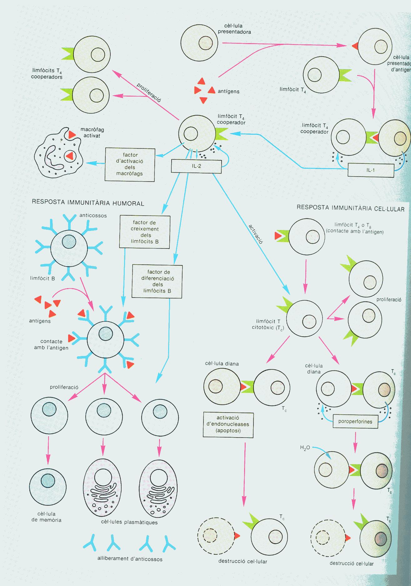 Sistema inmunitàri