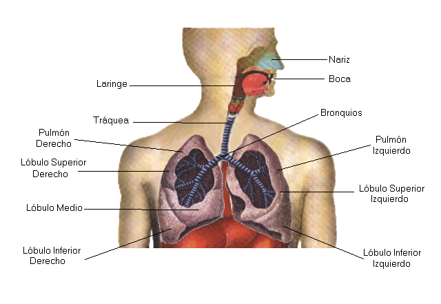 El sistema respiratorio humano