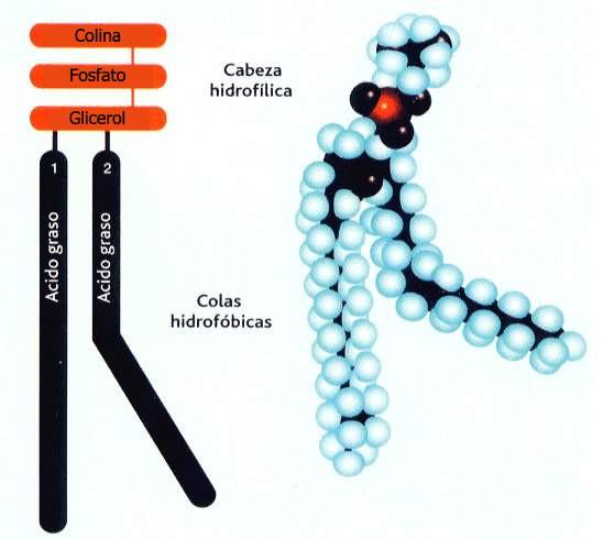 'Biología celular'