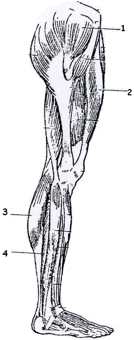 'Músculos'