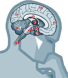 'Sistema nervioso central y periférico'