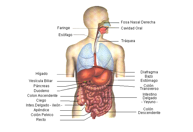 Aparato digestivo humano