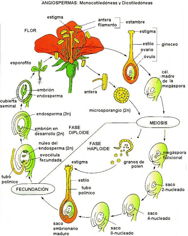 'Evolución de las plantas'