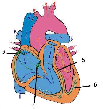 'Aparato cardio-vascular'