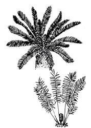 'Reproducción de cycadas y pinos'