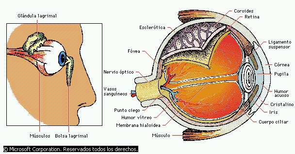 'Estructura del ojo humano'
