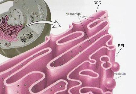 'Organelas citoplasm�ticas'