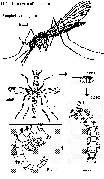 'Malaria'