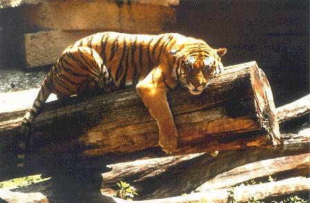 'Tigre'