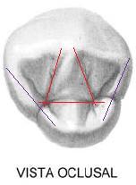 cara oclusal diente