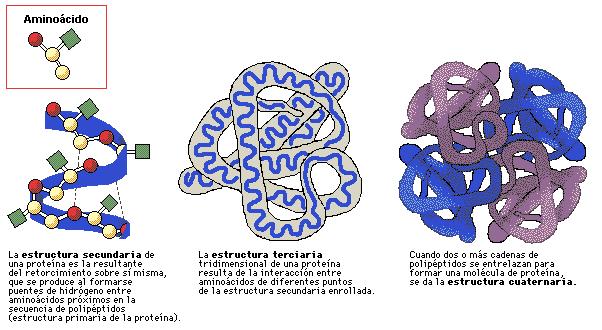 'Organización de las proteínas'