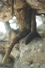 'Adaptaciones del vástago y la raíz de las plantas'