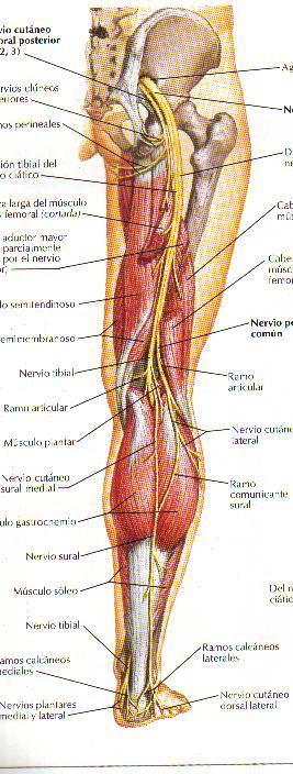 Nervio ciático