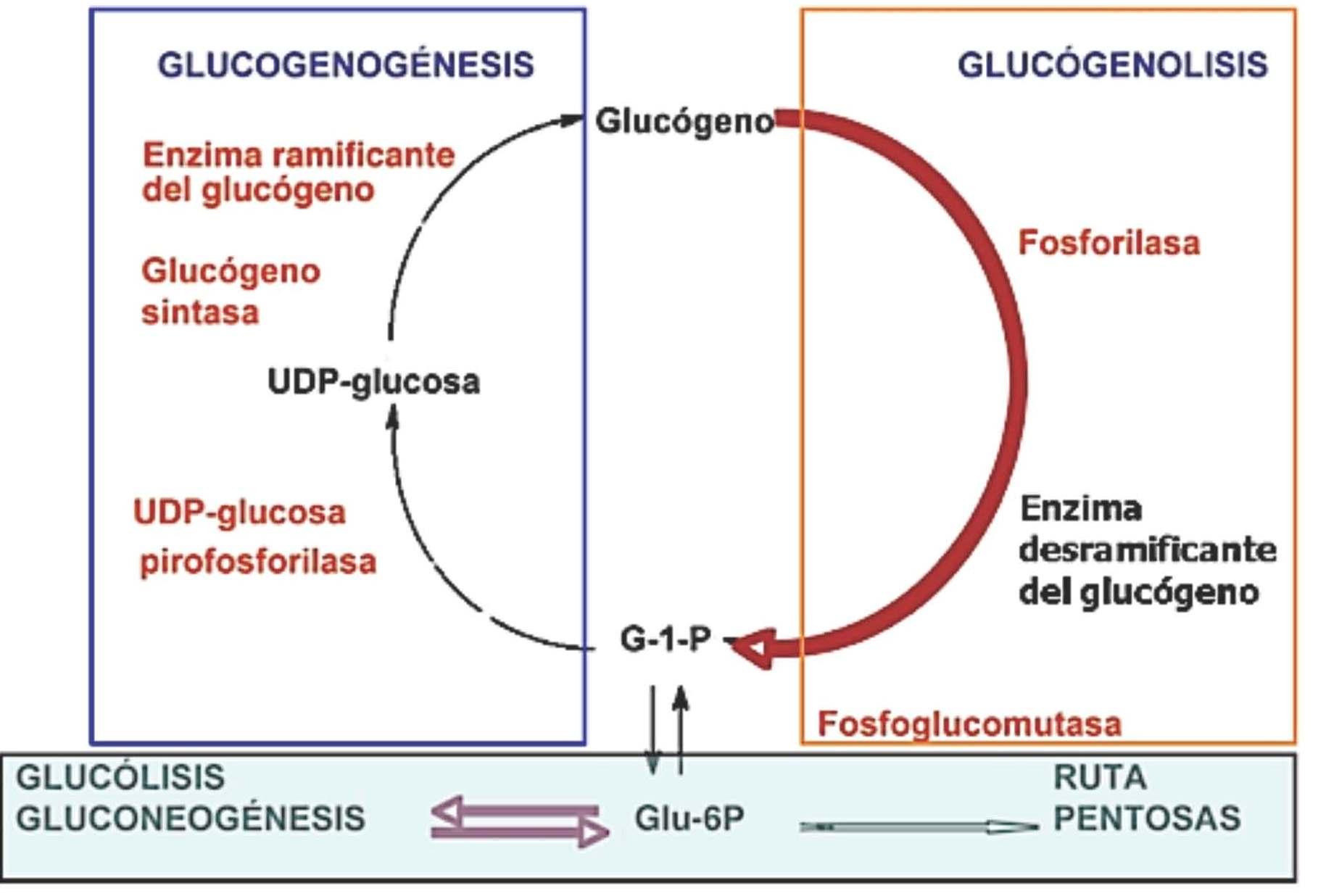 'Glucog�nesis'
