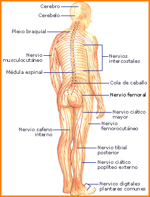 'Sistema nervioso central'