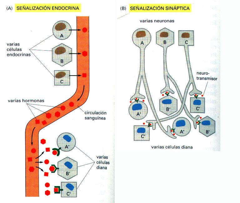 Comunicación intercelular