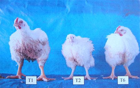 'Uso de hormonas en pollos'