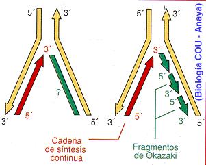 Duplicación de {ADN}