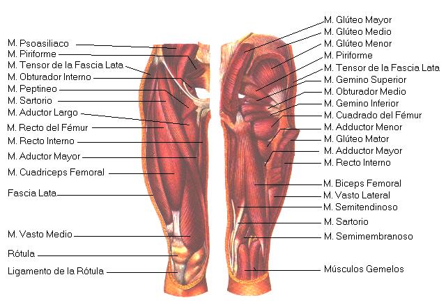 musculos y tendones del muslo