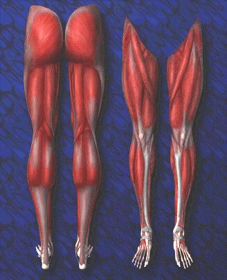 Fotos nombre musculos piernas y