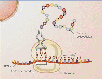 'Síntesis de proteínas'