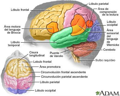 Encuentra Aquí Información De Sistema Nervioso Central Y