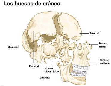 'Sistema nervioso central y perif�rico'