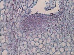 'Organización pluricelular'
