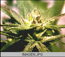 Marihuana o cannabis