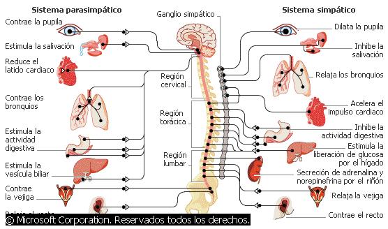 Sistema nervioso y células nerviosas