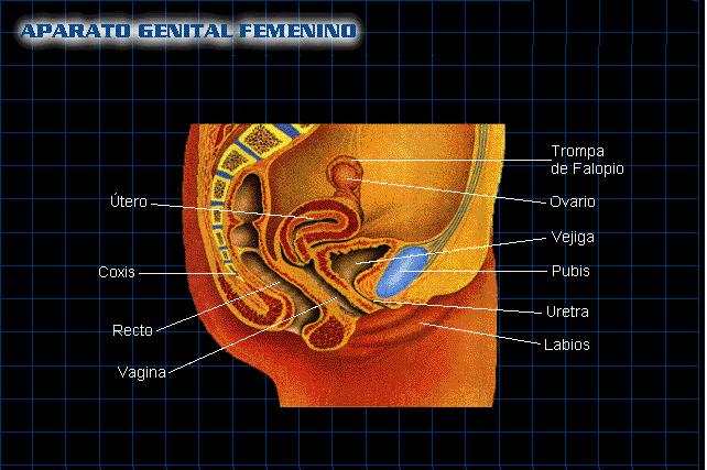 Aparato genital femenino y masculino