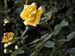 'Entre el clavel y la rosa; José María Plaza'