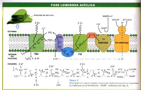 Fotosíntesis: la fase dependiente de la luz