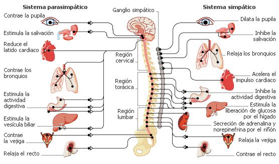 'Sistema Nervioso Periférico'