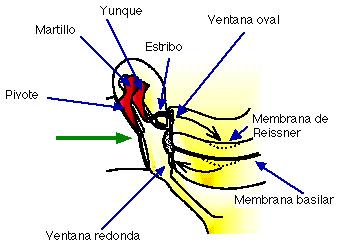 Fisiología del sistema auditivo