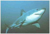 'Tiburón: más que una amenaza, un incomprendido'