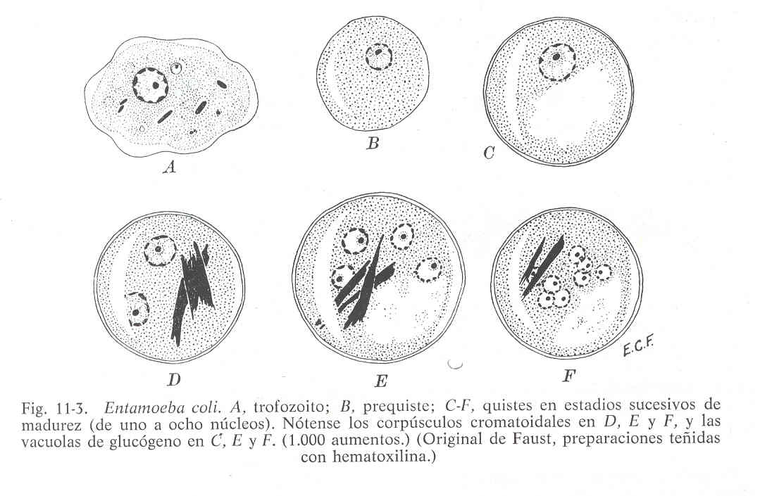 'Entamoeba coli'