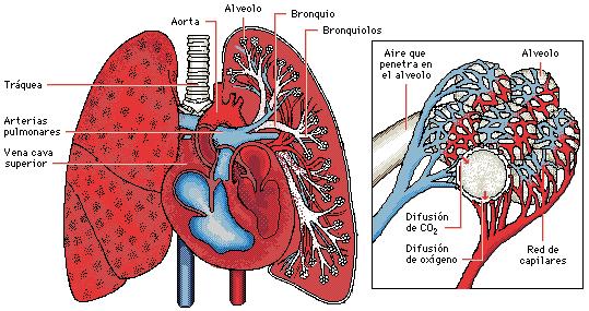 'Ventilación Pulmonar'